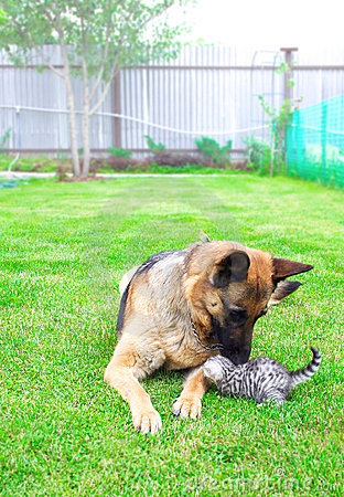 German dog playing with kitten