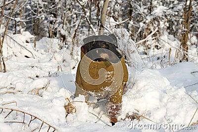 The German hunting terrier