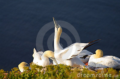 German island Helgoland -  northern gannets