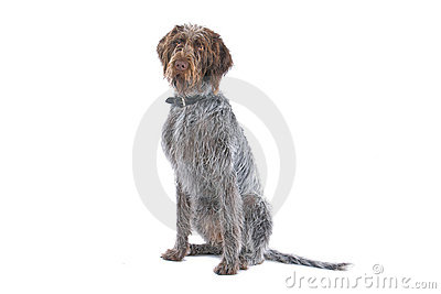 German Long haired Pointer