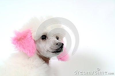 German Poodle