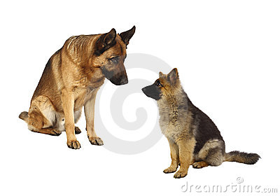 German shepard family