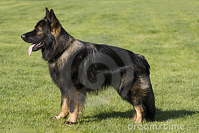 German Shepard Long Hair