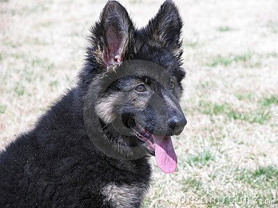 German Shepard Puppy
