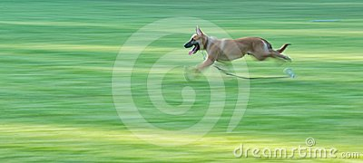 German Shepard running