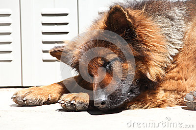 German shepard sleeping