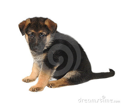 German Sheperd Puppy Royalty Free Stock Photos - Image: 12572538