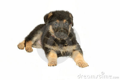 German Sheperd Puppy