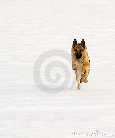 German sheperd on snow