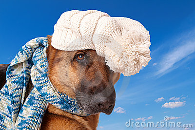 German shephard dog wearing hat and scarf