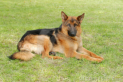 German  shephard (shepherd) dog portrait