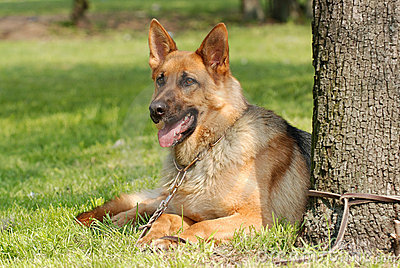 German  shephard (shepherd) dog portrait