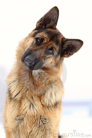 Free German Shepherd Royalty Free Stock Image - 12270656