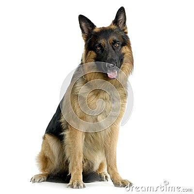 Free German Shepherd Stock Image - 2329031