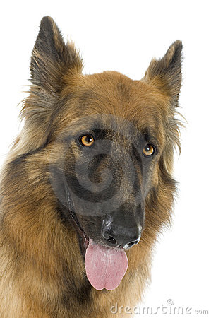 Free German Shepherd Royalty Free Stock Photography - 2771367