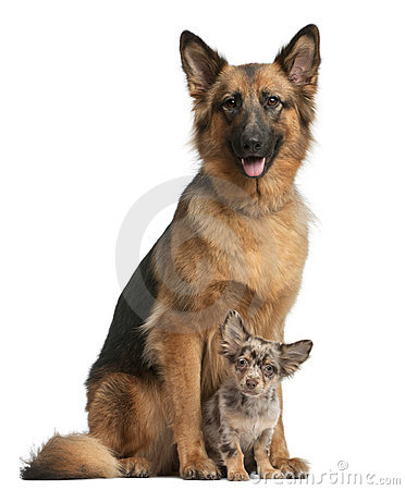 German Shepherd 3 Years Old And Chihuahua 4 Royalty
