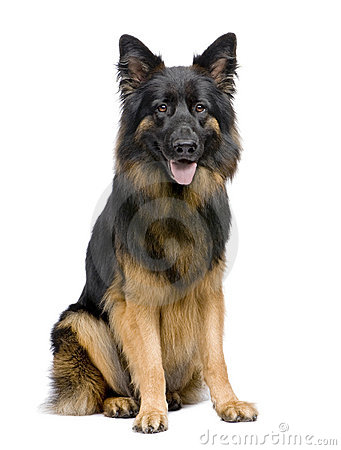 German Shepherd, 3 years old, sitting