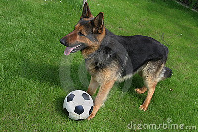 German shepherd with a ball
