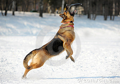 German shepherd catching disk