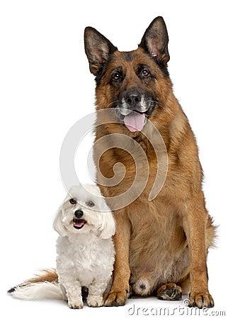 German Shepherd Dog, 11 years old, and Maltese