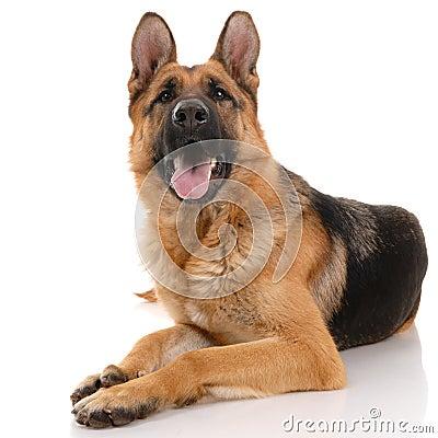 Free German Shepherd Dog Royalty Free Stock Photo - 12711175