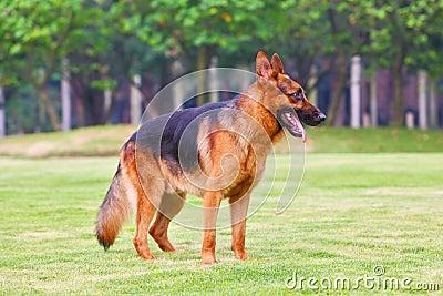 German shepherd dog 3