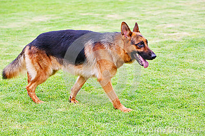 German shepherd dog 5