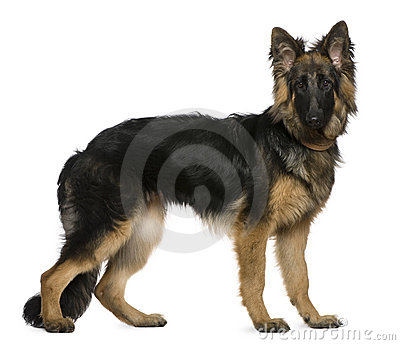 German Shepherd dog, 7 months old, standing