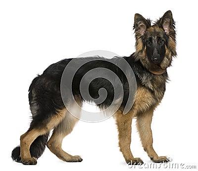 German Shepherd dog, 7 months old, standing