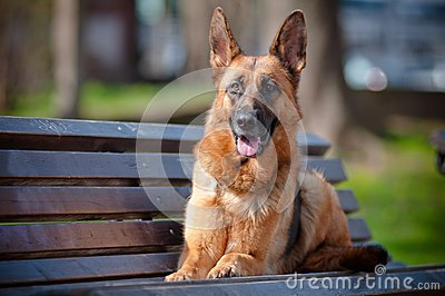 German shepherd dog on the bench