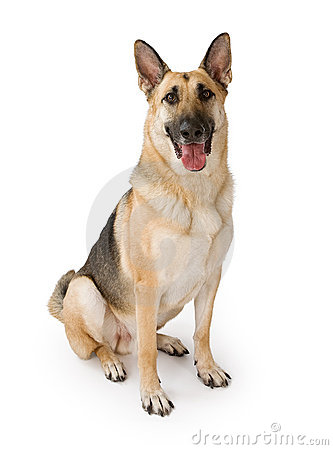 Free German Shepherd Dog Isolated On White Stock Photo - 15698640