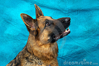 German Shepherd Dog Looking Up