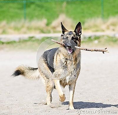 Free German Shepherd Dog On Beach Royalty Free Stock Photo - 13799305