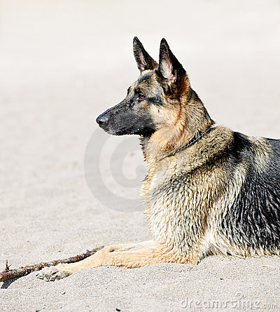Free German Shepherd Dog On Beach Royalty Free Stock Photo - 13799325