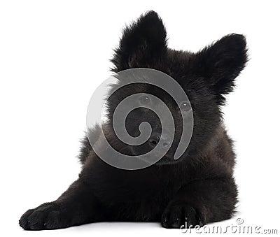 German Shepherd Dog puppy, 10 weeks old, lying