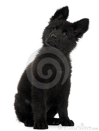 German Shepherd Dog puppy, 10 weeks old, sitting