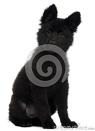 German Shepherd Dog puppy, 10 weeks old, sitting