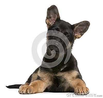 Royalty Free Stock Photos: German Shepherd Dog puppy, 3 months old