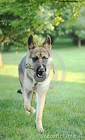 German Shepherd Dog after surgery