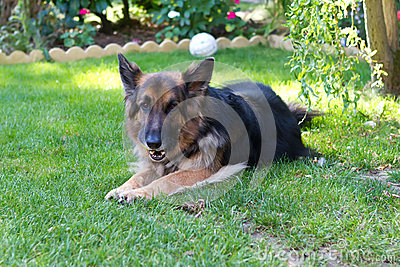 German shepherd laying in a gardem