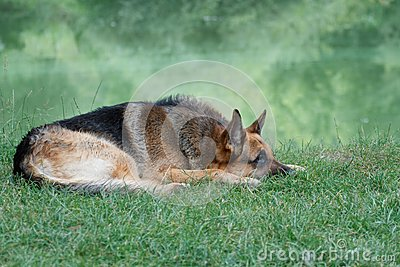 German shepherd lying