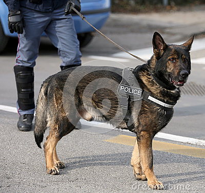Free German Shepherd Police Dog While Patrolling The City Streets Royalty Free Stock Photo - 88441315