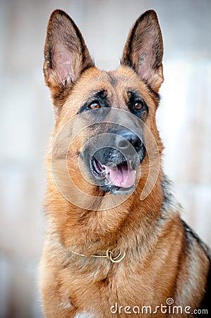 German shepherd portrait close up