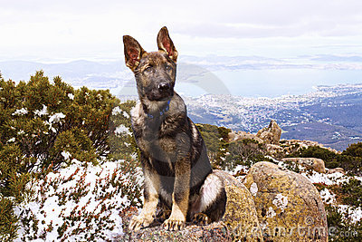 German Shepherd Puppy Stock Photo - Image: 21720500