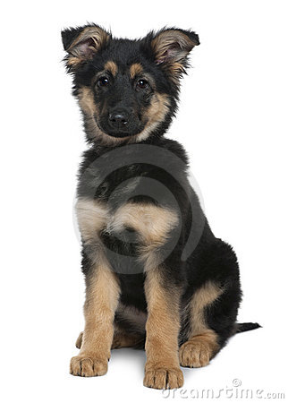 German Shepherd puppy, 3 months old, sitting