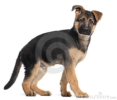 German Shepherd puppy, 3 months old, standing