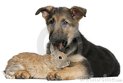 German Shepherd puppy, 4 months old, and a rabbit