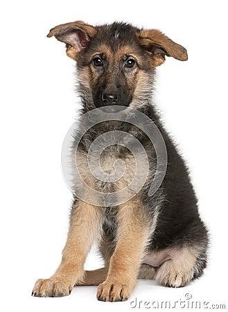 German Shepherd puppy, 4 months old, sitting