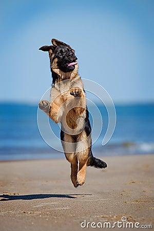 Free German Shepherd Puppy On The Beach Stock Photography - 39671532
