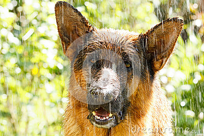 German shepherd in the rain
